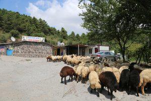 Kadıköy-adak-kuzu