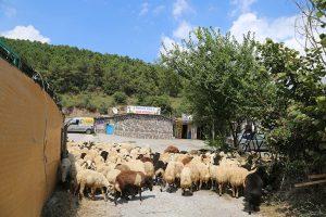 kadıköy-Adak-Kurban-Fiyatları