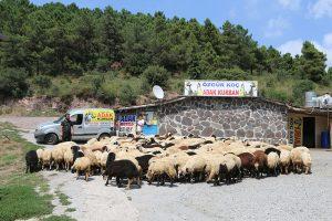 Kadıköy-adak-koyun